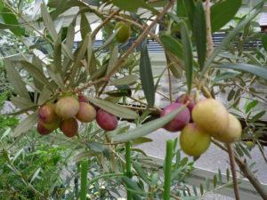 庭の鉢植えオリーブに実った果実