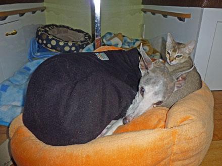 ウイペットのペッパーとシンガプーラのフィグ、犬と猫がキャンピングカー内で仲良く寝ています