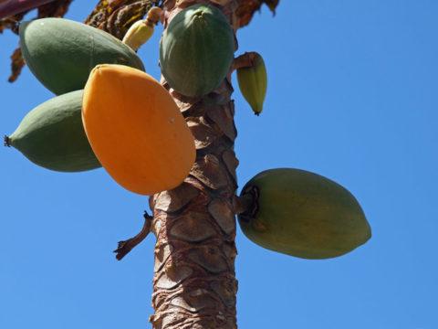沖縄県阿嘉島で見つけたパパイヤの木