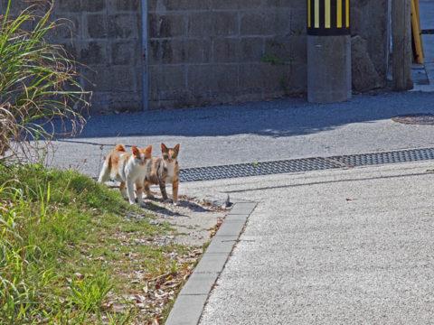 阿嘉島でみかけた猫