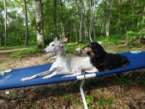 ダックスフントとウィペットがキャンプ場で寛ぐ飯綱東高原オートキャンプ場