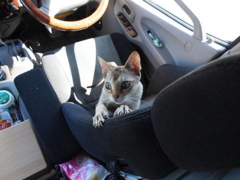 キャンピングカーデイブレイクのレカロシートで爪を研ぐ猫