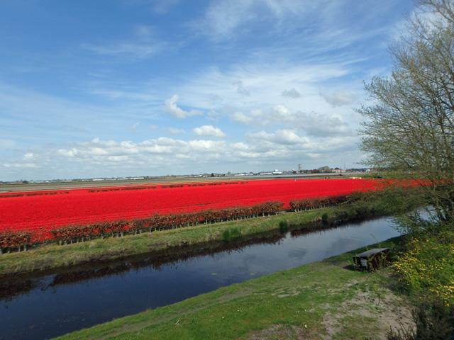 オランダの真っ赤に染まるチューリップ畑TG-850 Toughオリンパス