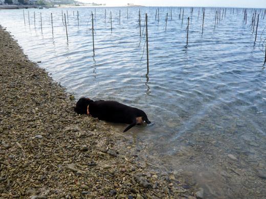 沖縄県本部の海で寝転がるダックスフントまるでナマコのよう