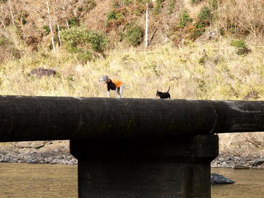 ウィペットのペッパーとダックスフントのジンジャーが四万十川の沈下橋を渡る