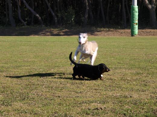 目の前のダックスフントを超高速で飛び越えようとするウィペット