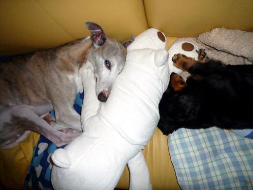 抱き枕次男を自らのものにしようと緊張するダックスフントのジンジャー、ウィペットのペッパー