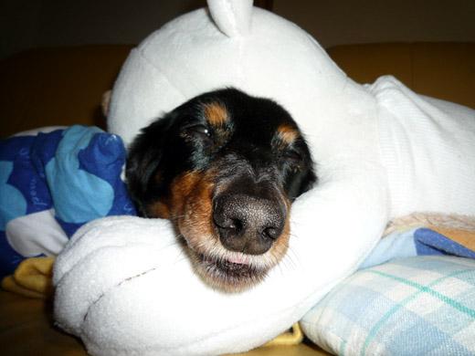 抱き枕次男に抱かれて眠るダックスフントのジンジャー