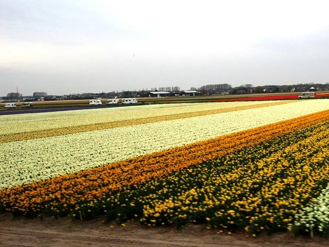 オランダ 鉄道の車窓から見たチューリップ畑とたくさんのキャンピングカー