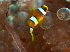 クマノミの幼魚。阿嘉で撮影