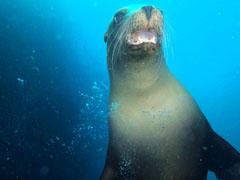 アシカが口を開けている画像。メキシコ・ラパスでのダイビングにて