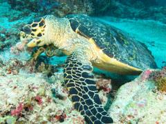 モルディブで見かけたタイマイの画像。一生懸命、捕食中
