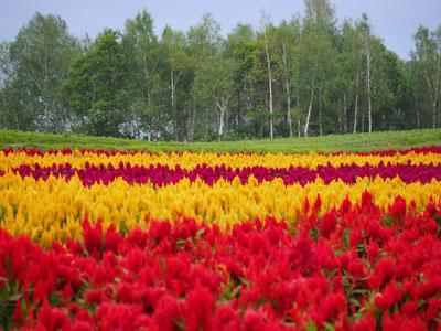 北海道美瑛四季彩の丘で撮影したケイトウの花畑