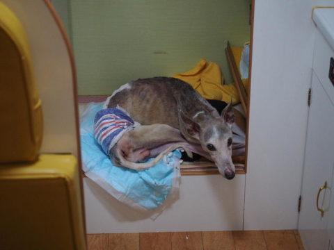 キャンピングカー 寝たきり犬 ウィペット ペッパー