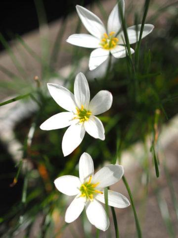 M.ZUIKO DIGITAL 25mm F1.8(開放)で撮った白い花
