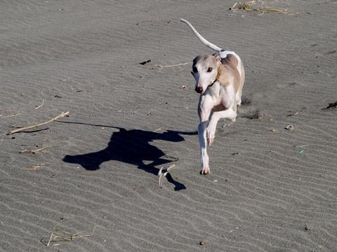 中田島砂丘を走るウィペットのペッパー