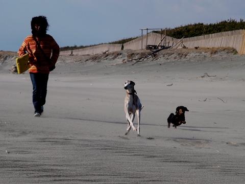 中田島砂丘で走るウィペット、ダックスフント