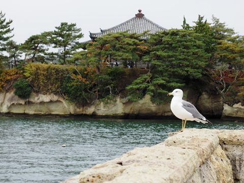 宮城県松島五大堂とウミネコ
