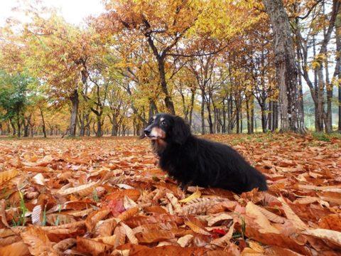 錦秋湖サービスエリアの公園で栗の黄葉のうえを散歩するダックスフントのジンジャー