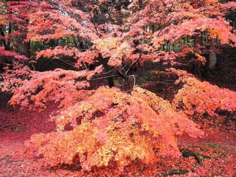 平泉の毛越寺の紅葉もみじ