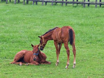 新冠サラブレッド銀座にある牧場で撮影した2頭の子馬