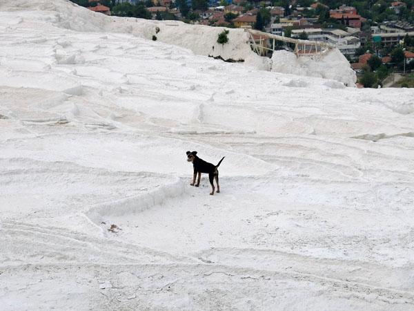 トルコ世界遺産パムッカレで遊ぶ犬
