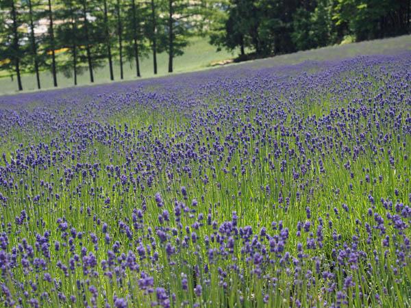 ファーム富田のラベンダー畑、早咲き種濃紫3号の画像