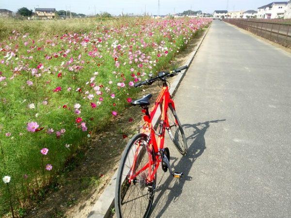 コスモスが咲き乱れる葛西用水沿いをジャイアントRX3でサイクリング