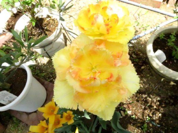 庭に咲いた八重チューリップ