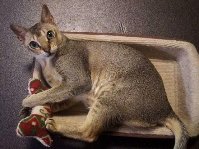 猫のフィグ、シンガプーラ