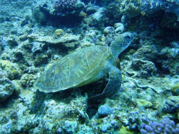 アオウミガメの画像、沖縄ダイビング、チービシで撮影