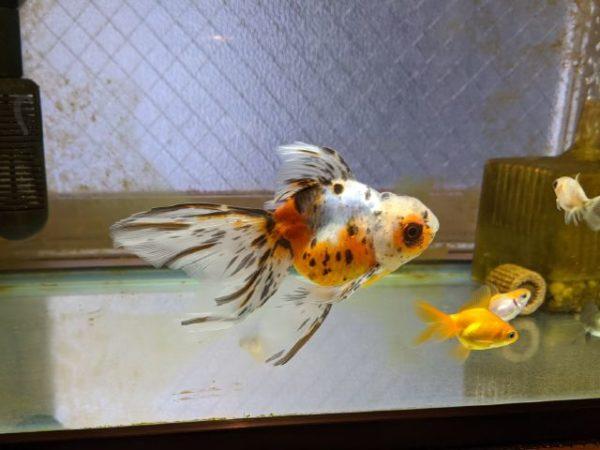 トイレの金魚さん