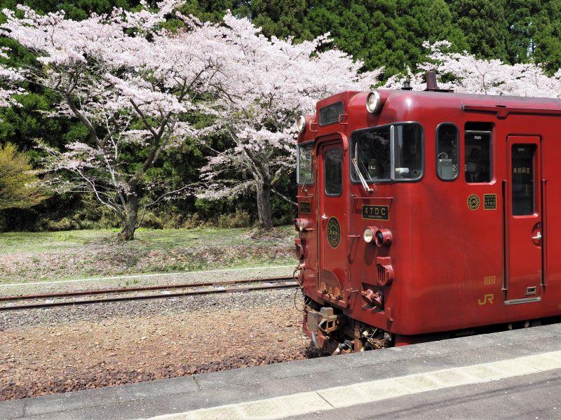 桜とJR九州いさぶろう・しんぺい号