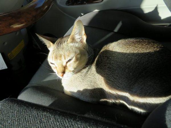 キャンピングカーの運転席でまどろむシンガプーラのフィグ