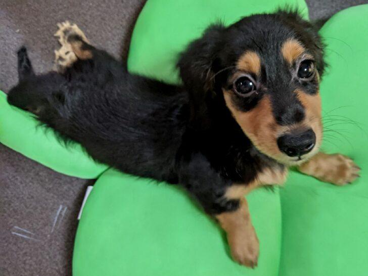 ダックスフント、ブラックアンドタンの子犬