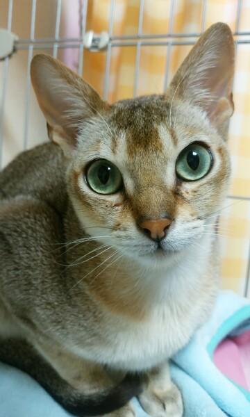ネコの写真シンガプーラのフィグ
