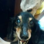 ダックスフントの老犬ジンジャーとペッパー