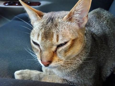 キャンピングカーのレカロシートで眠りに落ちるシンガプーラのフィグ