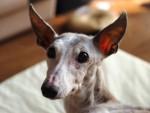 ペッパーの耳が欠ける