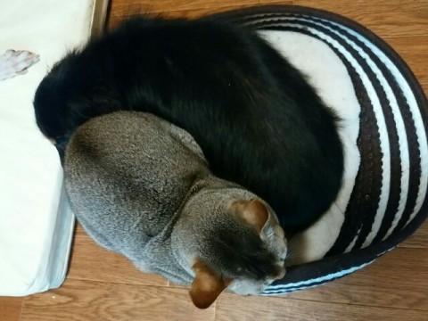ブラックアンドタンのダックスフント、ジンジャーの寝床にシンガプーラのフィグが侵入