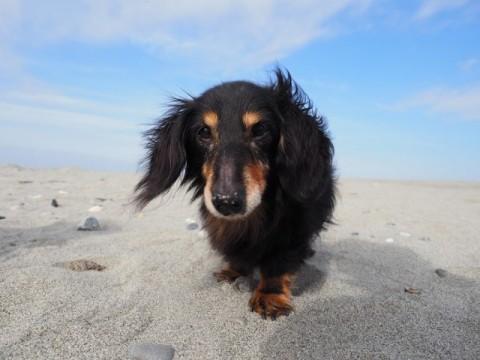 中田島砂丘の砂浜を歩くダックスフントのジンジャー