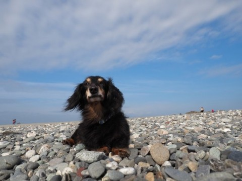 砂浜で疲れて休むダックスフントのジンジャー