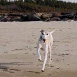 秋田に出かけた時に日本海の砂浜を疾走するペッパー