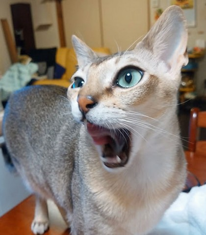 何かしゃべっているネコ、シンガプーラのフィグ