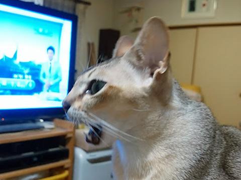 テレビに向かってしゃべっているシンガプーラのフィグ
