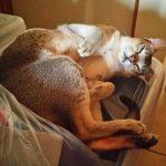 衣装ケースの上で寝るシンガプーラのフィグ