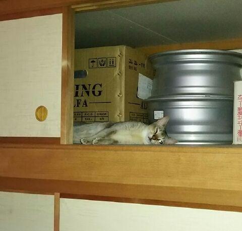 押入れの天袋で寝る猫シンガプーラのフィグ